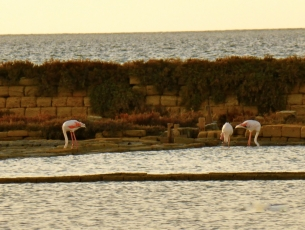 FLAMANTS ROSES A TRAPANI