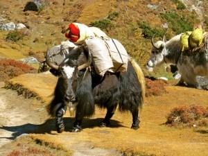 Yak-Nepal