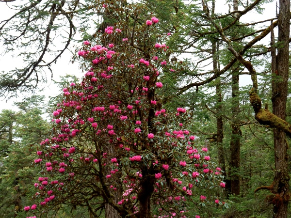 Forêt de rhododendrons, Himalaya