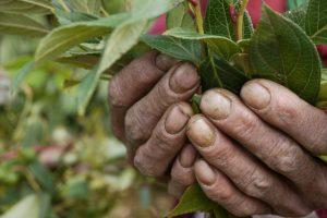 cueillette-de-plantes-medicinales-nepal